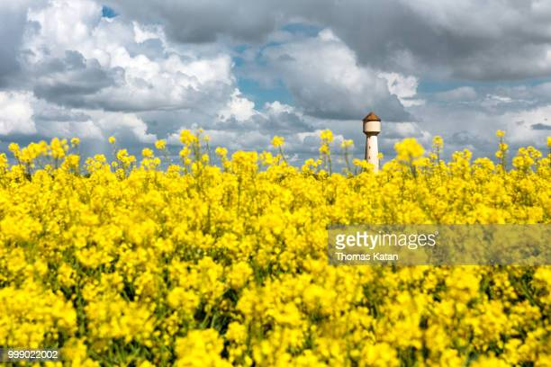 rapeseed hill - thomas katan stock pictures, royalty-free photos & images