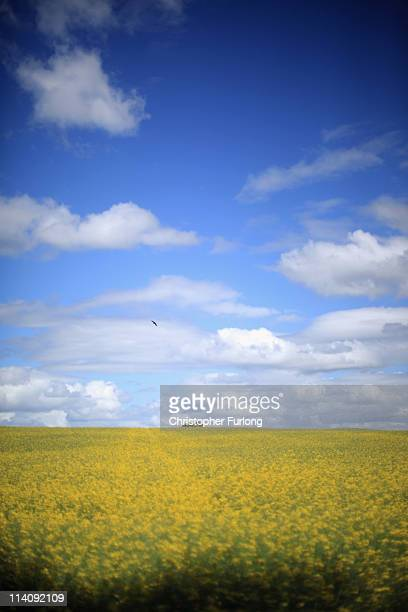 Rapeseed in a Shropshire field ripens in the fair weather on May 11 2011 in Shrewsbury United Kingdom The latest figures from the Department for...