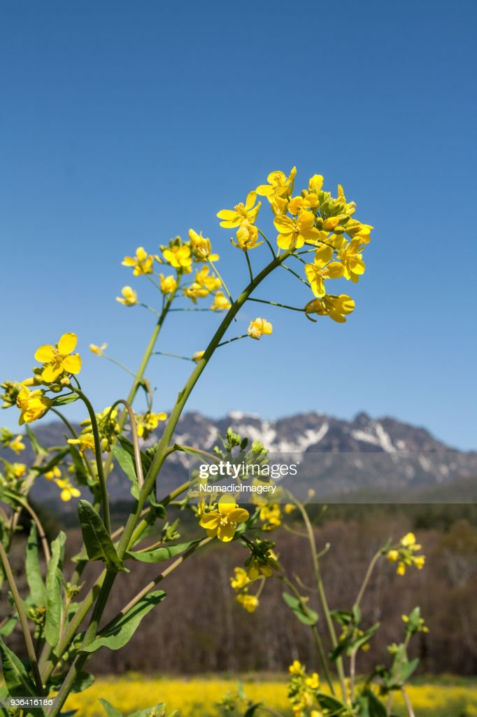 Rapeseed oil flowers in bloom with mountain background : Stock Photo
