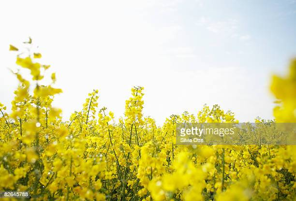 rapeseed - oilseed rape stock pictures, royalty-free photos & images