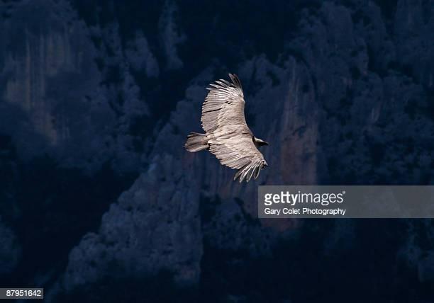 raptor or eagle - gorges du verdon photos et images de collection