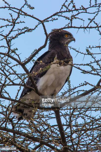 raptor - black chested snake eagle stock pictures, royalty-free photos & images