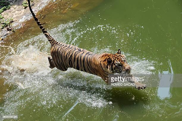 A rare 12yearold Sumatran tiger named Trenggani jumps into the water within its enclosure at Ragunan Zoo in Jakarta on February 12 2010 Authorities...