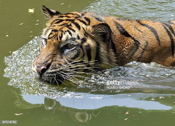 A rare 12yearold Sumatran tiger named Trenggani swims in the water within its enclosure at Ragunan Zoo in Jakarta on February 12 2010 Authorities...