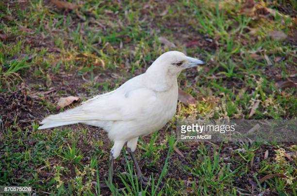 a rare albino australian magpie (cracticus tibicen) standing on the lawn of a residential property in port macquarie, new south wales, australia - albino stock pictures, royalty-free photos & images