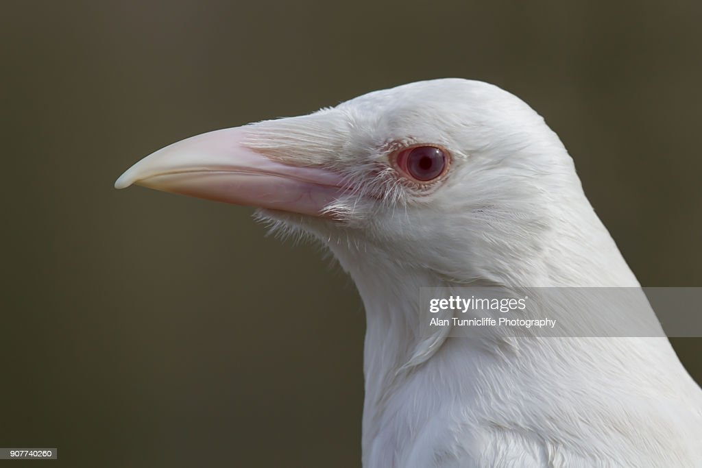 Rare albino crow : Stock Photo
