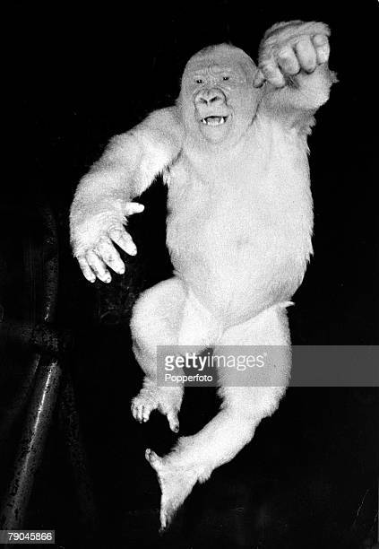 Animals Gorillas pic circa 1940's A rare albino or white gorilla pictured in captivity