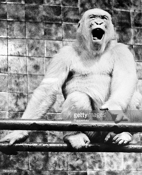 circa 1940's A rare albino or white gorilla pictured in captivity