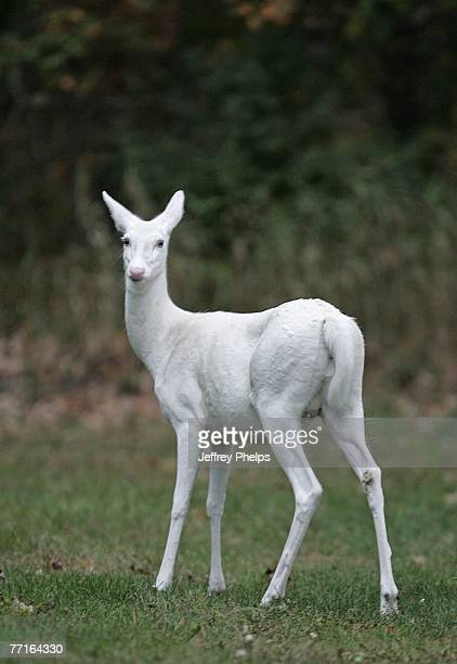 A rare Albino Whitetail Deer is seen September 24 2007 in the Northern Highland American Legion State Forest Boulder Junction Wisconsin Often...