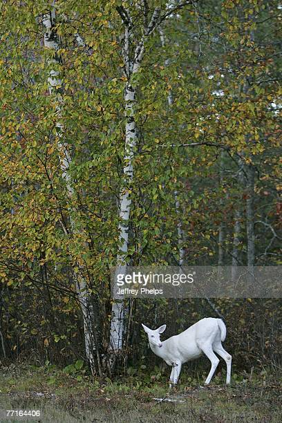 A rare Albino Whitetail Deer is seen September 28 2007 in the Northern Highland American Legion State Forest Boulder Junction Wisconsin Often...