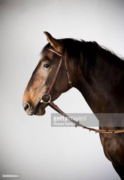 a rare alt-oldenburger pure breed horse. - 手綱 ストックフォトと画像