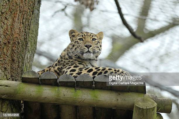 A rare Amur leopard at Marwell Zoo Winchester April 30 2010