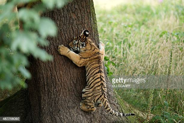 A rare Amur Tiger cub aged four months attempts to climb a tree as it experiences its reserve for the first time at the Yorkshire Wildlife Park near...