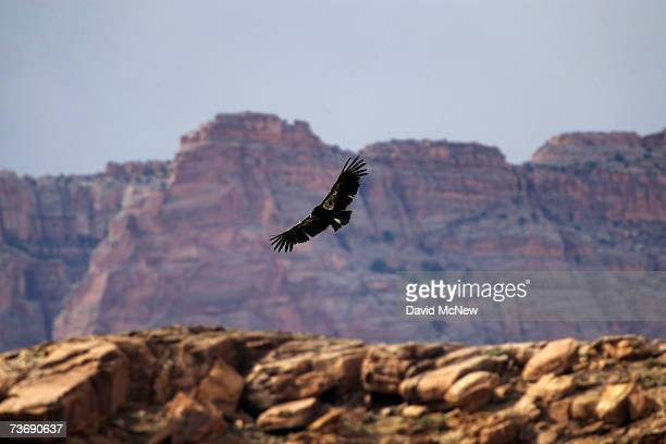A rare and endangered California condor flies near Marble Gorge east of Grand Canyon National Park March 23 2007 west of Page Arizona Condor managers...
