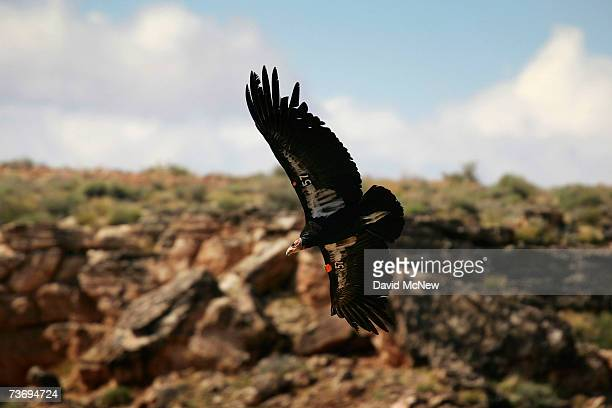 A rare and endangered California condor flies over Marble Gorge east of Grand Canyon National Park on March 24 2007 west of Page Arizona Condor...