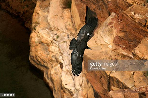 A rare and endangered California condor flies over the Colorado River in Marble Gorge east of Grand Canyon National Park March 22 2007 west of Page...