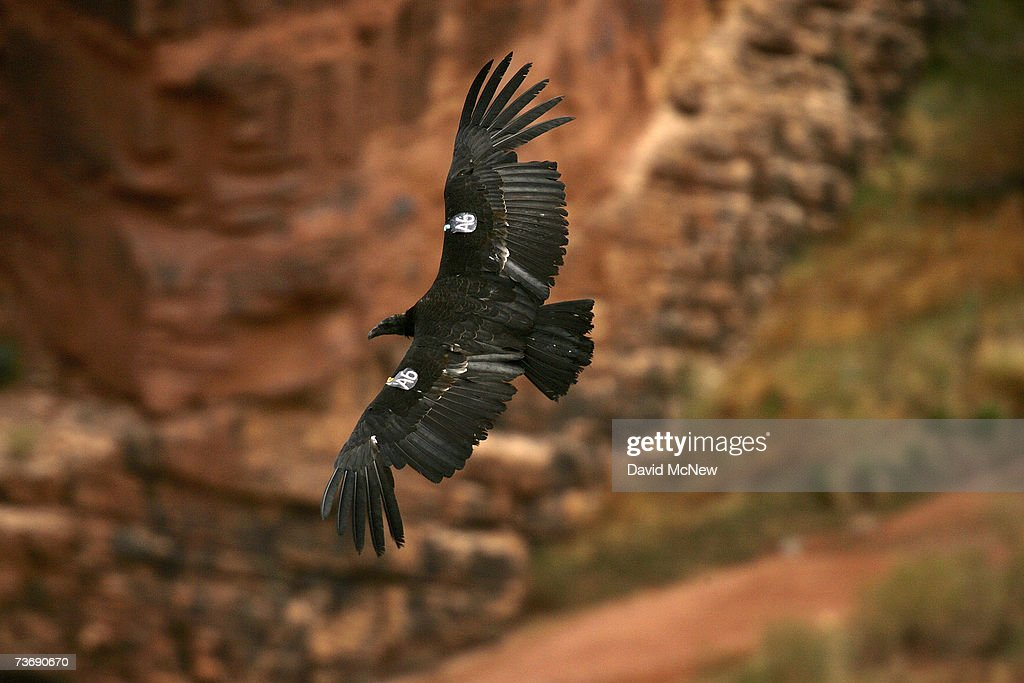 Endangered Condors Threatened With Lead Poisoning : News Photo