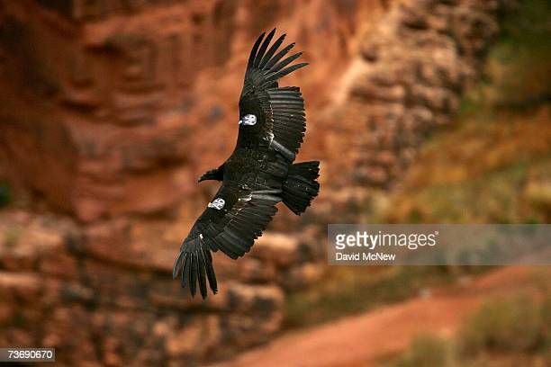 A rare and endangered California condor flies over the Colorado River in Marble Gorge east of Grand Canyon National Park March 23 2007 west of Page...