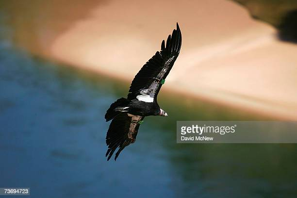 A rare and endangered California condor flies over the Colorado River in Marble Gorge east of Grand Canyon National Park on March 24 2007 west of...