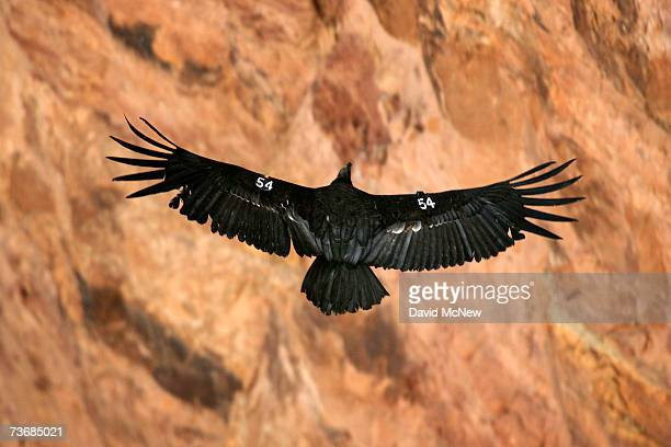 A rare and endangered California condor flies through Marble Gorge east of Grand Canyon National Park on March 22 2007 west of Page Arizona Condor...