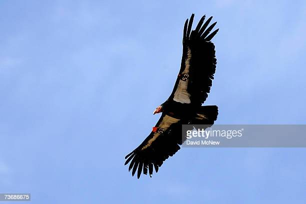 A rare and endangered California condor flies through Marble Gorge east of Grand Canyon National Park March 22 2007 west of Page Arizona Condor...