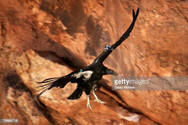A rare and endangered California condor lands on a ledge in Marble Gorge east of Grand Canyon National Park March 22 2007 west of Page Arizona Condor...