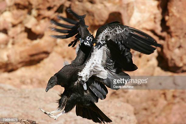 A rare and endangered California condor lands on a ledge in Marble Gorge east of Grand Canyon National Park on March 24 2007 west of Page Arizona...