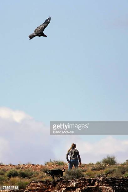 A rare and endangered California condor soars over Peregrine Fund employee Marti Jengkins whose job it is to monitor the behavior of the condors and...