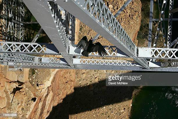 A rare and endangered California condor takes off from a bridge in Marble Gorge east of Grand Canyon National Park on March 24 2007 west of Page...
