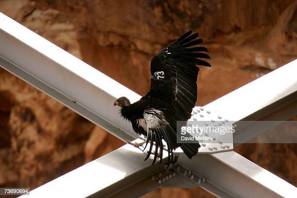 A rare and endangered California condor walks around on the spans of a bridge in Marble Gorge east of Grand Canyon National Park March 23 2007 west...