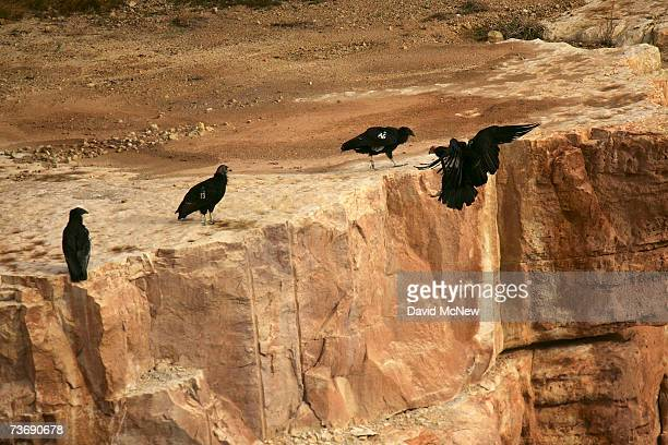 Rare and endangered California condors gather on a ledge in Marble Gorge east of Grand Canyon National Park March 23 2007 west of Page Arizona Condor...