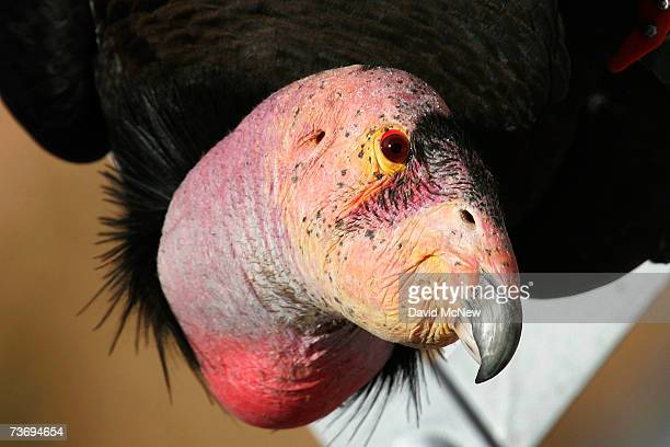 A rare and endangered fully mature California condor looks up from span on a bridge in Marble Gorge east of Grand Canyon National Park on March 24...