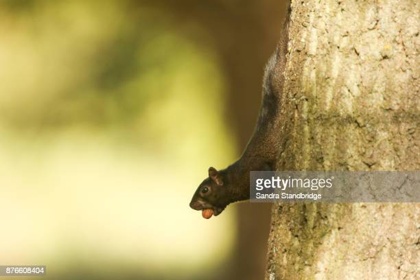 A rare Black Squirrel (Scirius carolinensis) on the side of a tree trunk with an Acorn in its mouth.
