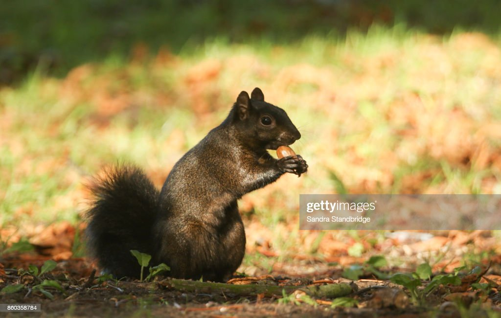 A Rare Black Squirrel Sitting On The Forest Floor Eating An