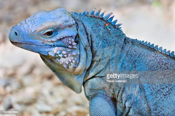 rari iguana blu - iguana foto e immagini stock