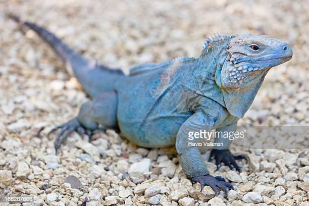 rare azul iguana - iguana fotografías e imágenes de stock