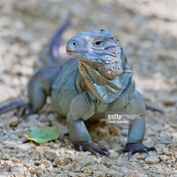 rare blue iguana - iguana stock photos and pictures