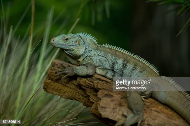 A rare blue iguana sits in its enclosure at the Bronx Zoo on April 27 2017 in the Bronx New York Once reduced to an estimated 25 individuals the blue...