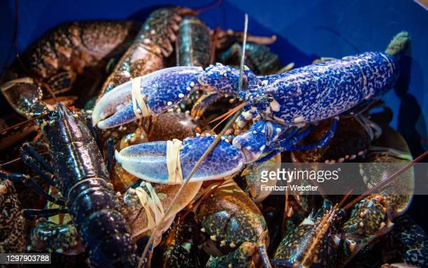 Rare blue lobster is seen during the unloading of the Dartmouth Crab Company fishing vessel MFV William Henry II on January 22, 2021 in Weymouth,...