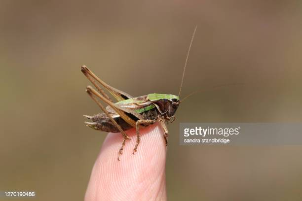a rare bog bush cricket, metrioptera brachyptera, perching on a thumb. - england cricket stock pictures, royalty-free photos & images