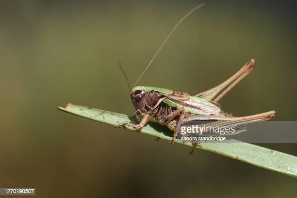a rare bog bush cricket, metrioptera brachyptera, resting on a blade of grass. - england cricket stock pictures, royalty-free photos & images