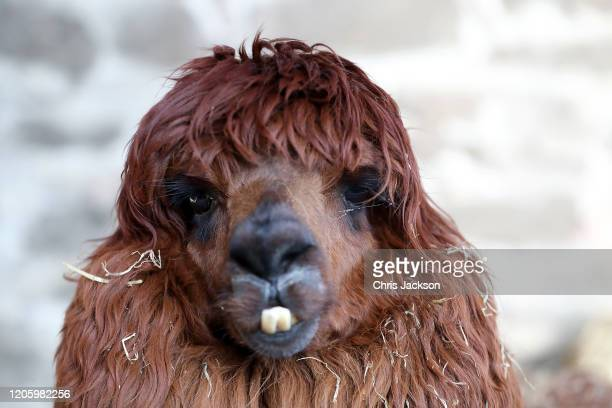 A rare breed alpaca is seen as Catherine Duchess of Cambridge visits at The Ark Open Farm on February 12 2020 in Newtownards Northern Ireland This...