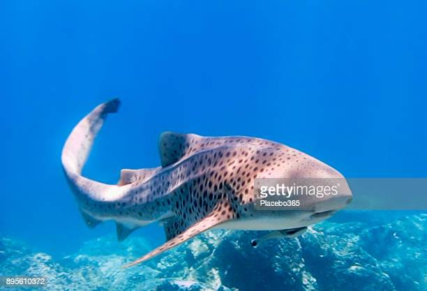 rare close-up encounter with endangered species zebra leopard shark (stegostoma fasciatum) - rare stock pictures, royalty-free photos & images
