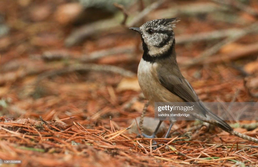 A Rare Crested Tit Searching For Food On The Forest Floor In