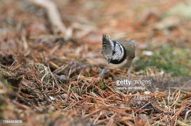 a rare crested tit (lophophanes cristatus) searching for food on the forest floor in the abernathy forest in the highlands of scotland. - forest floor stock photos and pictures