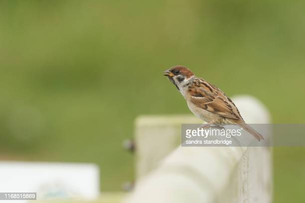a rare cute baby tree sparrow, passer montanus, perching on a wooden fence post with its beak open. - beak stock pictures, royalty-free photos & images