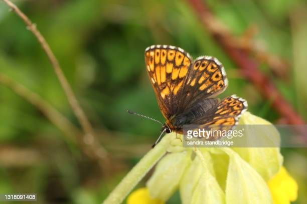 a rare duke of burgundy butterfly, hamearis lucina, perching on a cowslip flower. - duke stock pictures, royalty-free photos & images