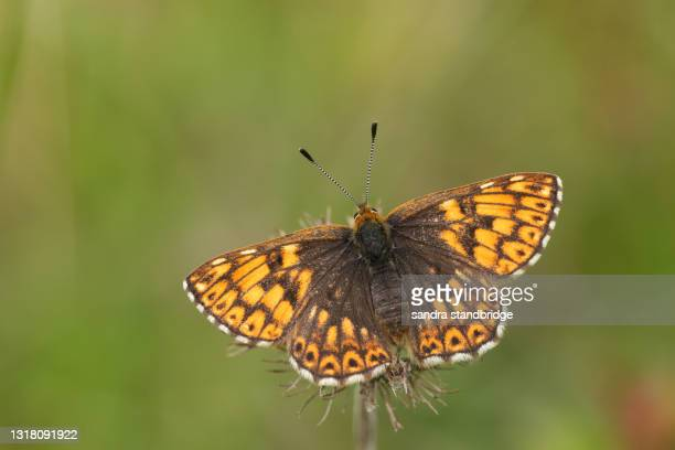a rare duke of burgundy butterfly, hamearis lucina, perching on a plant with its wings open. - duke stock pictures, royalty-free photos & images