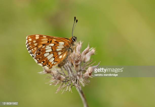 a rare duke of burgundy butterfly, hamearis lucina, perching on a plant. - duke stock pictures, royalty-free photos & images
