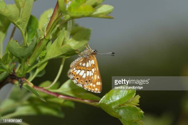 a rare duke of burgundy butterfly, hamearis lucina, perching on a hawthorn tree. - duke stock pictures, royalty-free photos & images